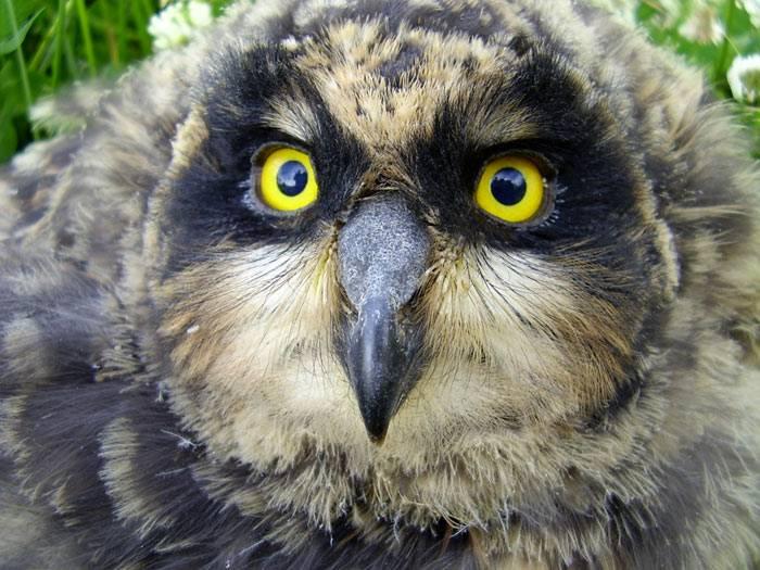 Болотная сова это сова среднего