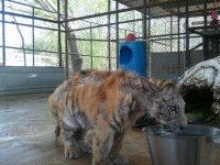 Невероятное преображение тигрицы, спасенной из цирка